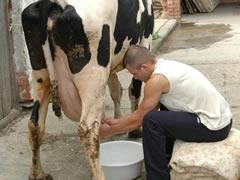 Barn Cow Sex